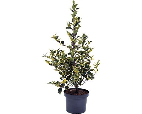 Houx multicolore jaune FloraSelf Ilex aquifolium ''Rubricaulis Aurea'' H40-60cm Co 5L
