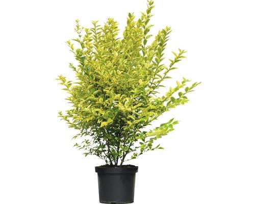 Troène de Californie FloraSelf Ligustrum ovalifolium ''Aureum'' H60-80cm Co 10l