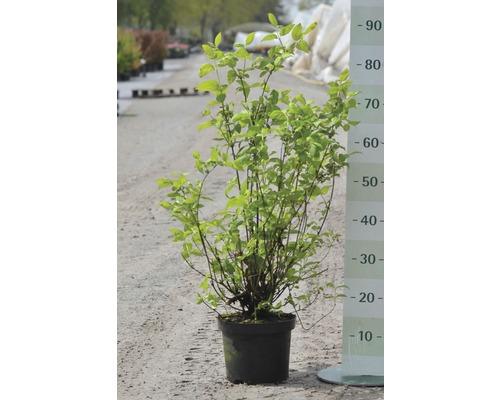 Gartenjasmin, Pfeifenstrauch FloraSelf Philadelphus ''Minnesota Snowflake'' H 60-80 cm Co 4 L