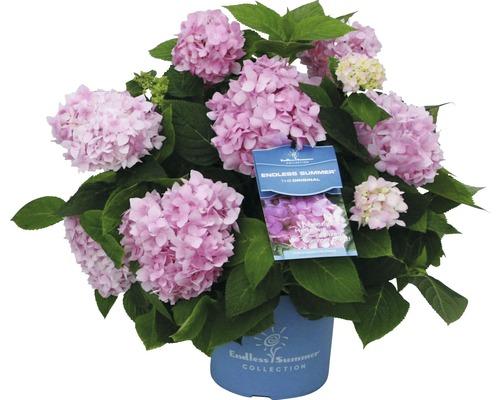 Hortensia Endless Summer rose 50-60 cm