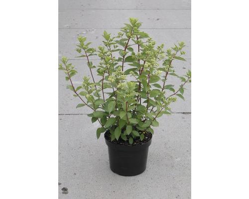 Hortensia paniculé ''Grandiflora'' 50-60 cm Co 6 l