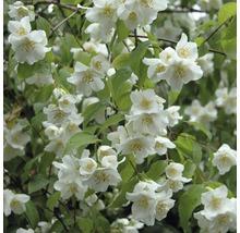 Jasmin de jardin, seringat commun FloraSelf Philadelphus ''Natchez'' H100-125 cm Co 15L-thumb-1