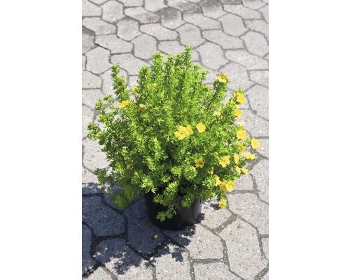 Potentille frutescente FloraSelf Potentilla fruticosa ''Dakota Sunspot'' H30-40cm Co 4L