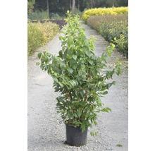Jasmin de jardin, seringat commun FloraSelf Philadelphus ''Natchez'' H100-125 cm Co 15L-thumb-3