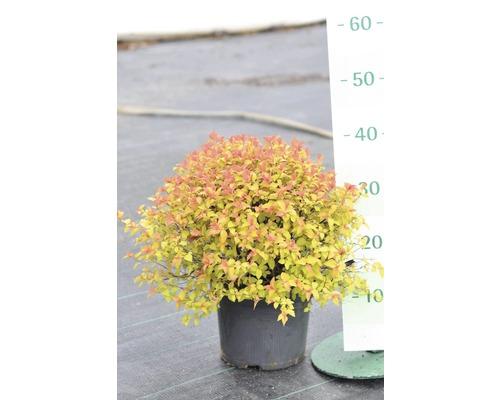 Spirée du Japon FloraSelf Spiraea japonica ''Magic Carpet'' H60-80cm Co 4L
