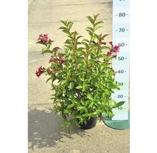 Weigela FloraSelf ''Bristol Ruby'' H40-60cm Co 4L-thumb-1