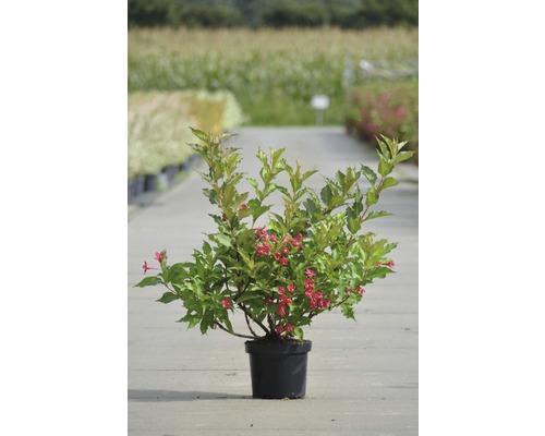 Weigela FloraSelf Weigela ''Red Prince'' H40-60cm Co 4L