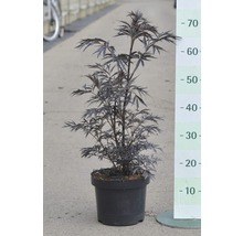 Sureau noir Black Lace 50-60 cm-thumb-0