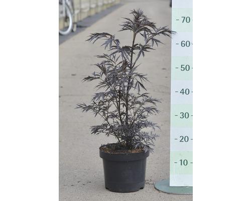 Sureau noir Black Lace 50-60 cm-0