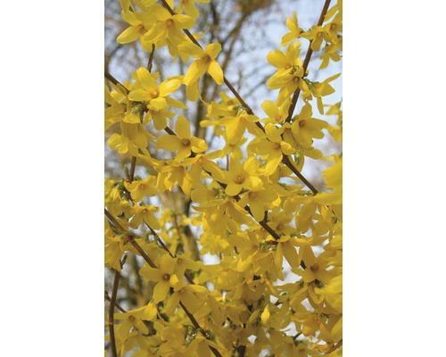 Forsythia FloraSelf Forsythia intermedia ''Week End''® H60-80cm Co 4L