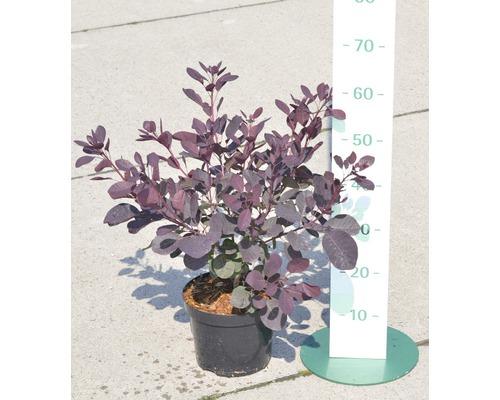 Arbre à perruques rouge FloraSelf Cotinus coggygria ''Royal Purple'' H 50-60 cm Co 4 L