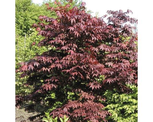 Érable rouge palmé FloraSelf Acer palmatum ''Atropurpureum'' H40-60cm Co 4L