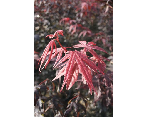 Érable rouge palmé FloraSelf Acer palmatum ''Bloodgood'' H40-60cm Co 4L