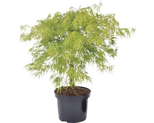 Érable du Japon FloraSelf Acer palmatum dissectum ''Viridis'' H 40-60 cm Co 4 L