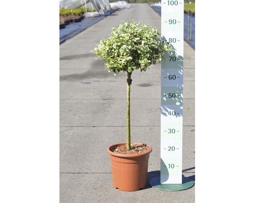 Weißbunte Kriechspindel FloraSelf Euonymus fortunei ''Emerald Gaiety'' H 40 cm Co 6 L