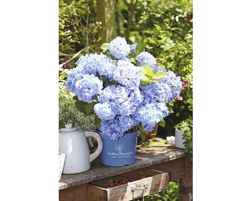 Hortensia Endless Summer bleu 50-60 cm