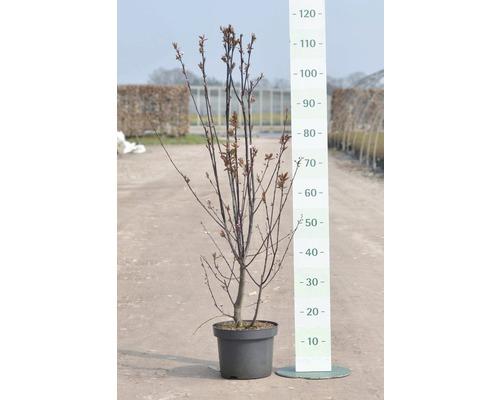 Prunus FloraSelf Prunus cerasifera ''Nigra'' H 40 cm Co 5 L