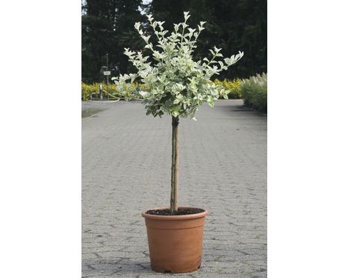 Kriechspindel FloraSelf Euonymus fortunei ''Harlequin'' H 80-100 cm Co 6 L