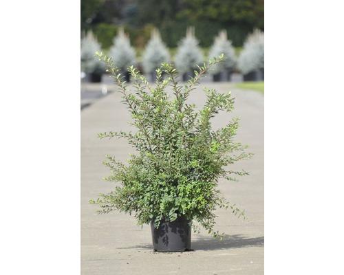 Spirée du Japon FloraSelf Spiraea nipponica ''Snowmound'' H 50-60 cm Co 4 L