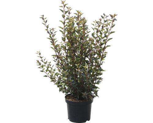 Physocarpe FloraSelf Physocarpus opulifolius ''Little Devil'' H 40-50 cm Co 4 L