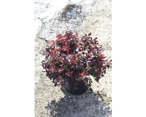 Épine-vinette de Thunberg Atropurpurea Nana 20-25 cm
