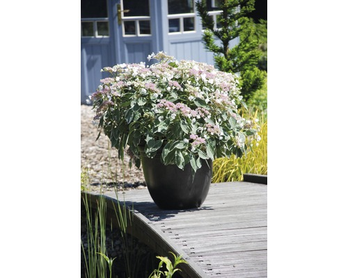 Hortensia Light-O-Day 50-60 cm
