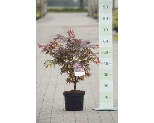 Érable du Japon Acer palmatum « Skeeter''s Broom » h 40-50 cm co 4 L