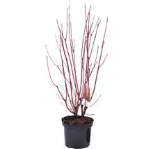 Rotholziger Hartriegel FloraSelf Cornus alba ''Sibirica'' H 50-60 cm Co 4 L-thumb-0
