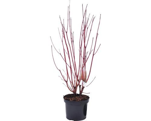 Rotholziger Hartriegel FloraSelf Cornus alba ''Sibirica'' H 50-60 cm Co 4 L-0