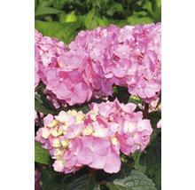Hortensia rouge FloraSelf Hydrangea macrophalla ''Bloomstar'' H50-60 cm Co 5 l-thumb-1