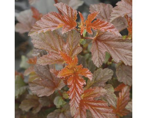 Physocarpe FloraSelf Physocarpus opulifolius ''Lady in Red'' H 50-60 cm Co 4 L