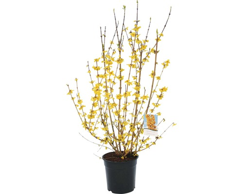 Forsythia FloraSelf Forsythia intermedia ''Ruée vers l''or'' H80-100cm Co 10 L