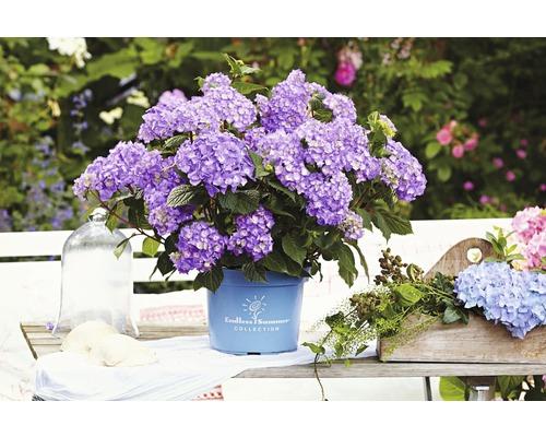 Hortensia bleu Gartenhortensie, Bauernhortensie FloraSelf Hydrangea macrophalla ''Bloomstar'' H50-60 cm Co 5 l