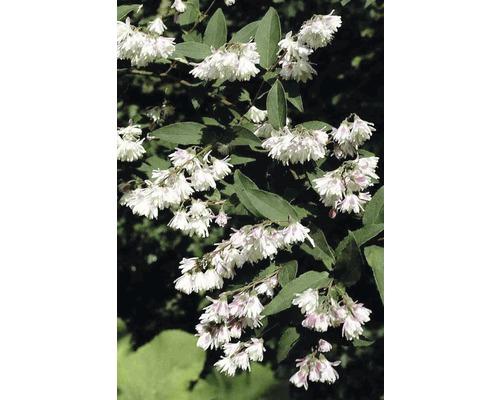 Deutzia plein, deutzia FloraSelf Deutzia scabra ''Plena'' H 80-100 cm Co 10 L