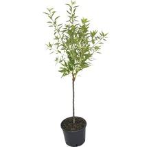Amandier Prunus dulcis H150-180cm Co 6L-thumb-1