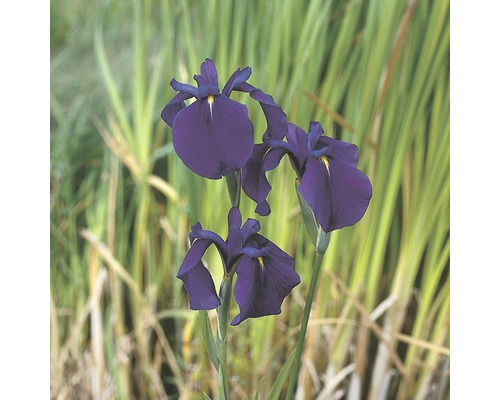 Iris ensata FloraSelf Iris kaempferi pot Ø9cm