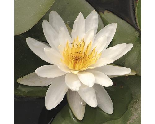 Nénuphar FloraSelf Nymphaea marliacea ''Albida'' pot Ø11cm