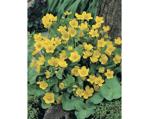 Caltha des marais (souci d''eau) FloraSelf Caltha palustris pot Ø9cm