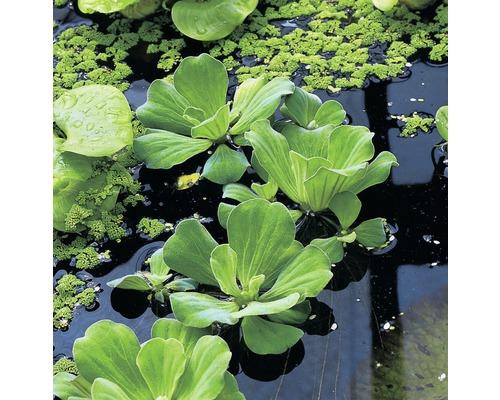 Lot de plantes flottantes FloraSelf, 3 variétés différentes, lot de 6