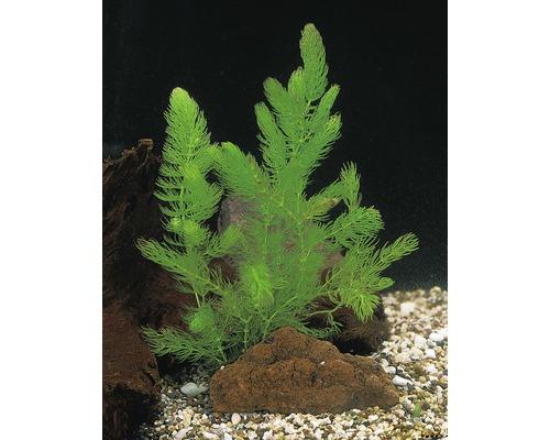 Céraiste FloraSelf Cerathophyllum demersum