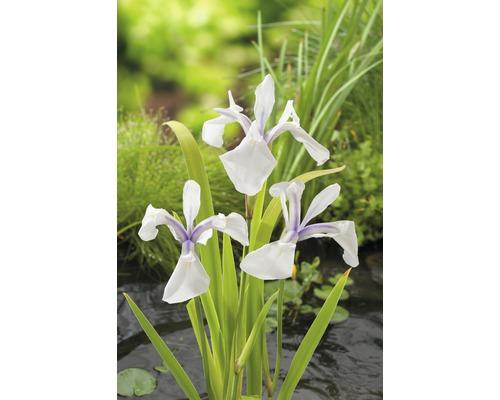 Iris versicolor FloraSelf Iris laevigata ''Snowdrift'' pot Ø9cm