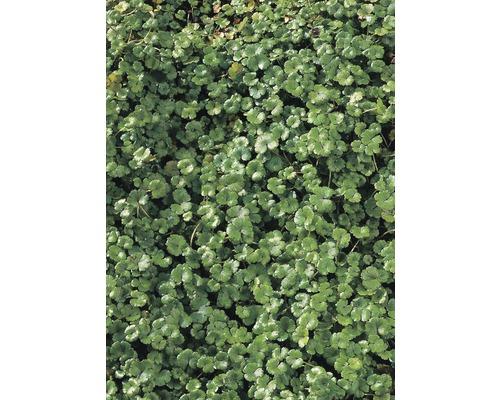 Hydrocotyle FloraSelf Hydrocotyle nova-zealandiae H5-10cm Co 0,5L