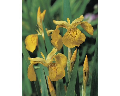 Iris des marais FloraSelf Iris pseudocorus pot Ø18cm