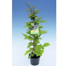 Mûrier sans épines FloraSelf Rubus fruticosus ''Triple Crown'' h 60-80 cm Co 2 l-thumb-1