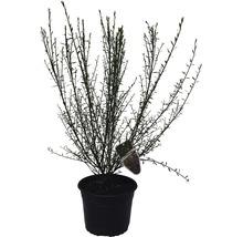 Genêt à balais FloraSelf Cytisus scoparius ''Burkwoodii'' H 40-60 cm Co 2 L-thumb-0