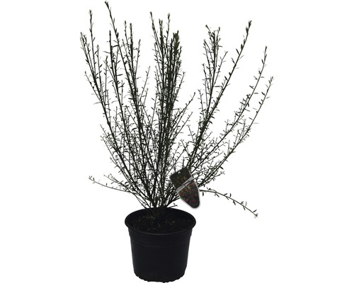 Genêt à balais FloraSelf Cytisus scoparius ''Burkwoodii'' H 40-60 cm Co 2 L-0