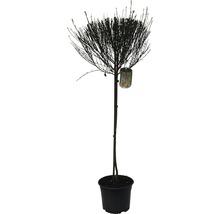 Genêt à balais FloraSelf Cytisus scoparius ''Firefly'' H 60-80 cm Co 4 L-thumb-1