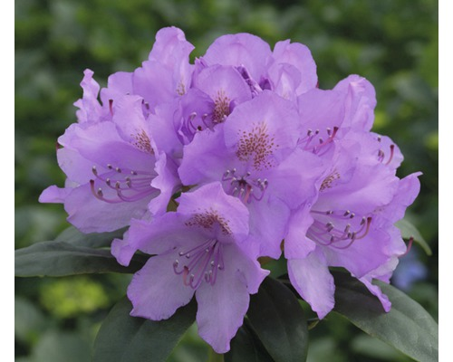 Rhododendron des Alpes à grosses fleurs FloraSelf Rhododendron Hybride violet H50-60cm Co 7L