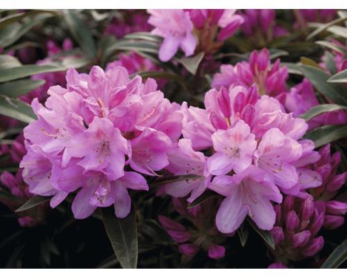 Rhododendron sauvage FloraSelf Rhododendron ponticum ''Graziella'' H25-30cm Co 5L