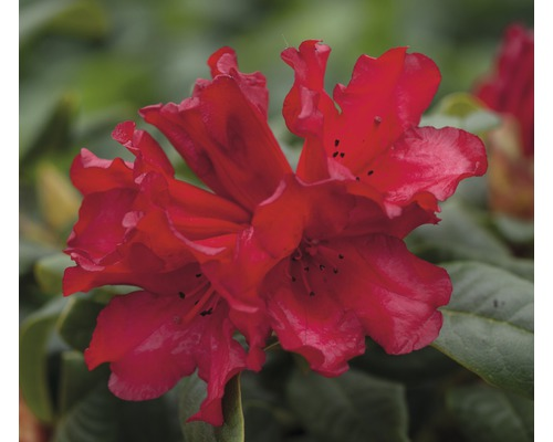 Rhododendron des Alpes nain FloraSelf Rhododendron repens ''Scarlet Wonder'' H25-30cm Co 3L